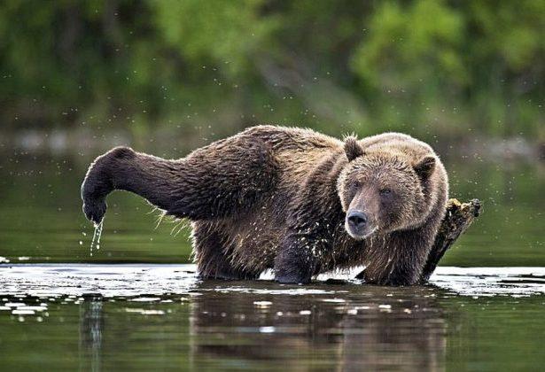 medved-v-reke-kamchatka