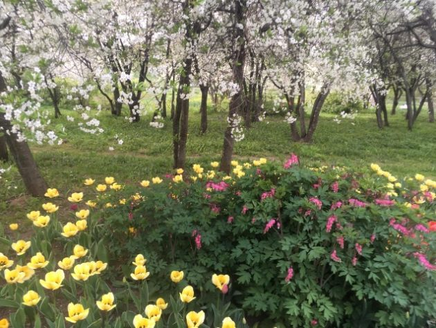 cveti-v-vishnevom-sadu